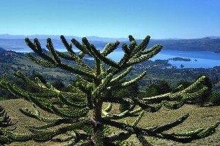 Araucaria araucana, arbre de Patagonie