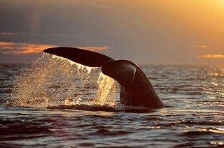 Baleine franche Patagonie Argentine